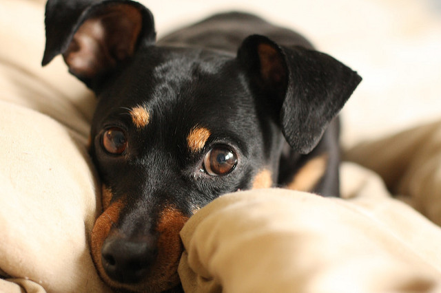 Paraphimosis in Dogs